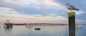 Pier Gull